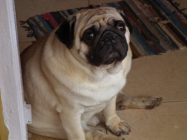 The Worlds Fattest Pug: Flickr - Photo Sharing
