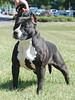 "UKC GR.CH. PR' Kim  Jay Naughty by Nature of Buenos Aires ""Misty"""