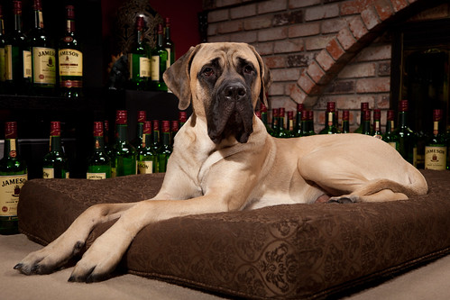 The 5 Biggest Dog Breeds