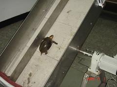 測試爬坡能力的食蛇龜(特生中心林德恩提供)