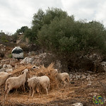 Sheeps Feeding on Crete, Greece