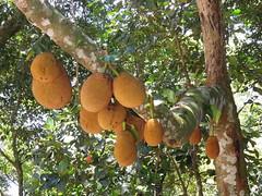 Jackfruits.