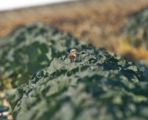 Sparrow Hawk in Cabbage