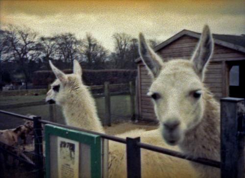 Llamas by pho-Tony