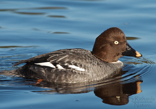 Common goldeneye, female