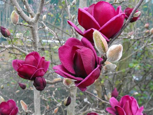 Magnolia Genie