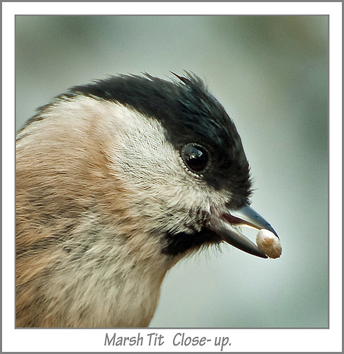 Marsh Tit   Close- up.