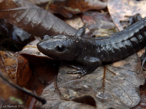 Southern Indiana salamanders - Caudata.org Newt and Salamander Forum