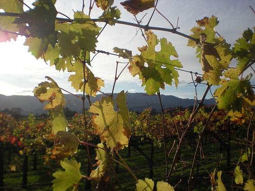 Fall leaves at Mumm Napa