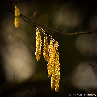 Hazel Catkins - Explored #200