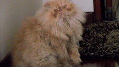 domestic long-haired cat, animal, persian, british semi-longhair, small to medium-sized cats, pet, cat, carnivoran, himalayan,
