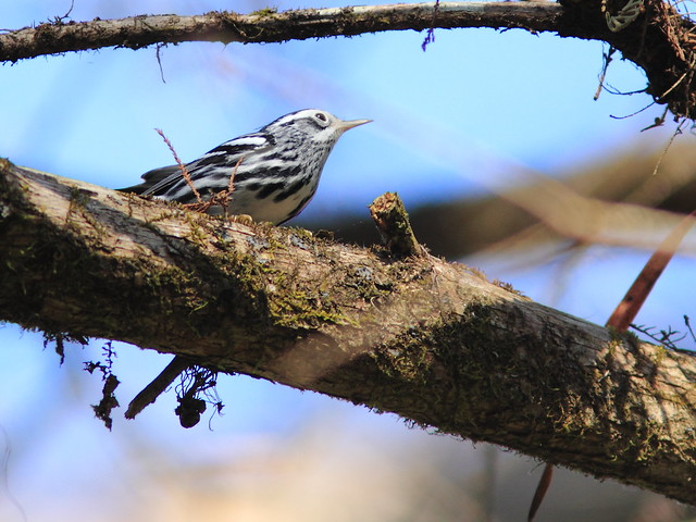 Black-and-white Warbler 20120131