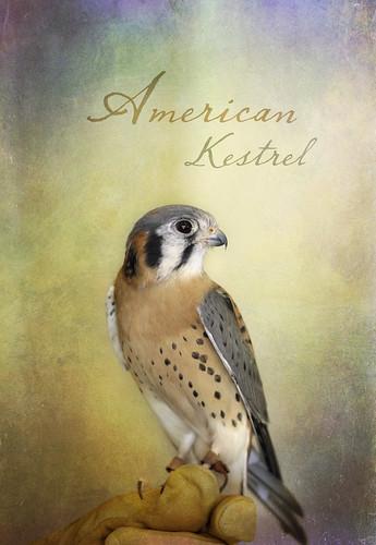 American Kestrel by lstarner (Lynn)