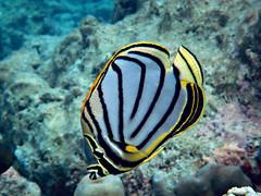 Meyer's Butteflyfish - Chaetodon meyeri