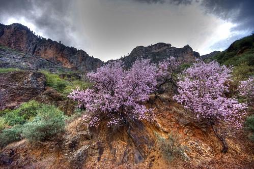 Tejeda almendro, Fotos Ruta del Almendro en flor 2012 en Gran Canar…