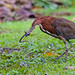 Rufescent Tiger-Heron...getting his lunch.... by Christine Kapler / PASSED AWAY
