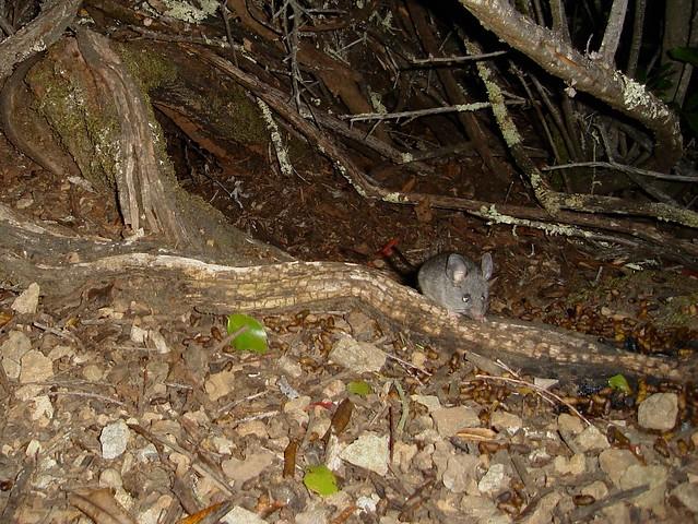 juvenile cal mouse