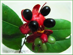 Ochna kirkii, aka Mickey Mouse Plant or Bird's Eye Bush