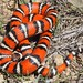 Coast Mountain Kingsnake - Photo (c) J. Maughn, some rights reserved (CC BY-NC)