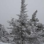 Sapin d'hiver