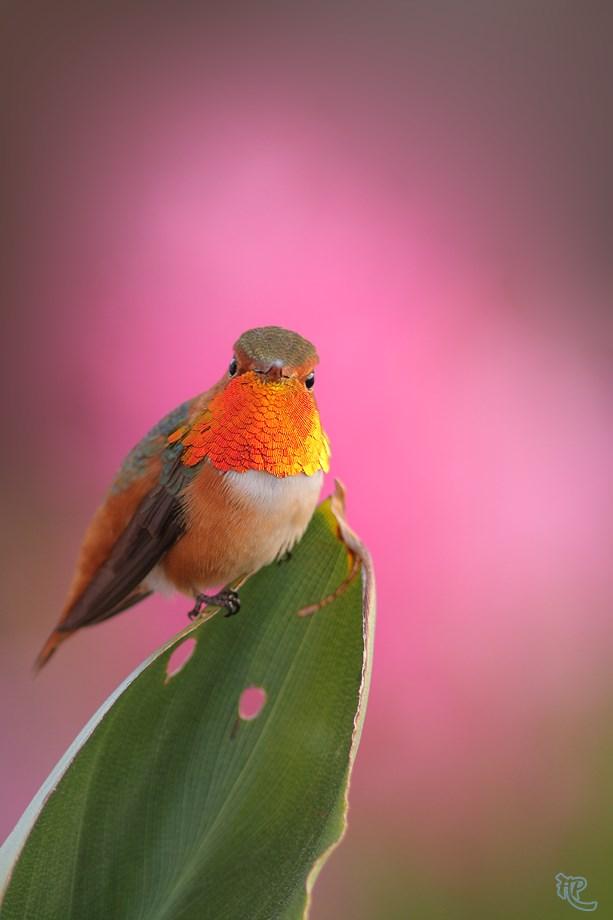 Allen's Hummingbird 032114-2