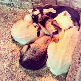Tiny little pile of love! #babygoats #newhampshire #goats These little tykes were about 4 days old. #farm #love #toocute #sleepy