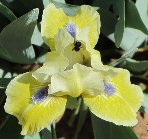 Leprechauns Delight SDB Lilac garden