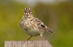 High woods Ruffled Skylark.