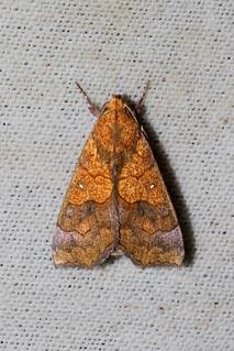 Anomis flava (Erebidae: Scoliopteryginae: Anomini)
