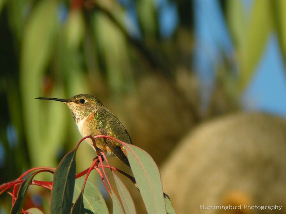 Allen's Hummingbird 112611