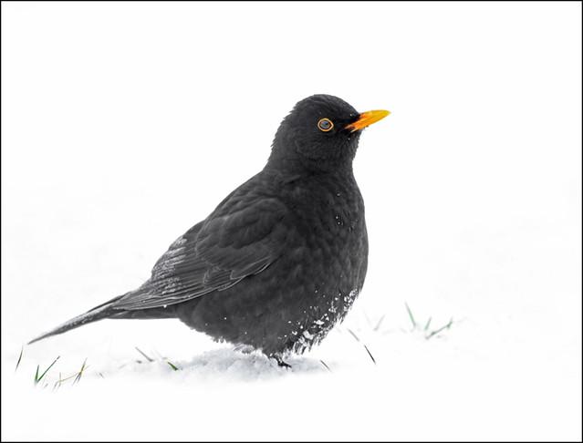 Svartþröstur / Blackbird / Turdus merula