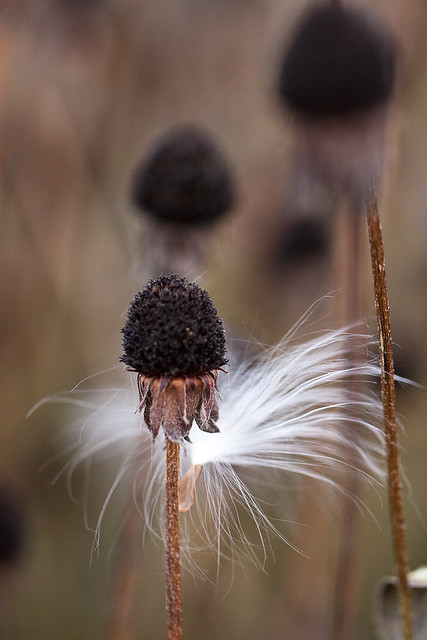 seedy coneflower deadhead