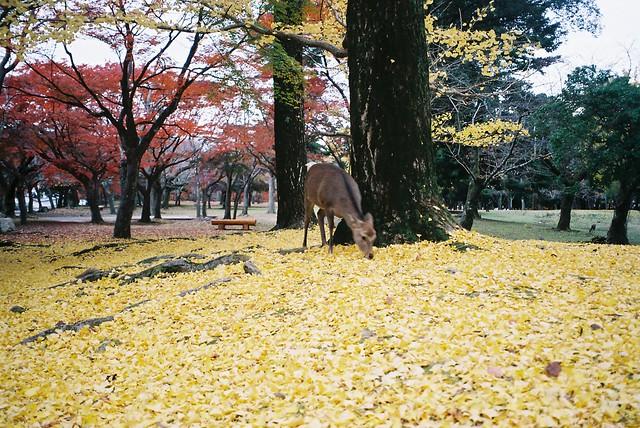 銀杏樹下的小鹿