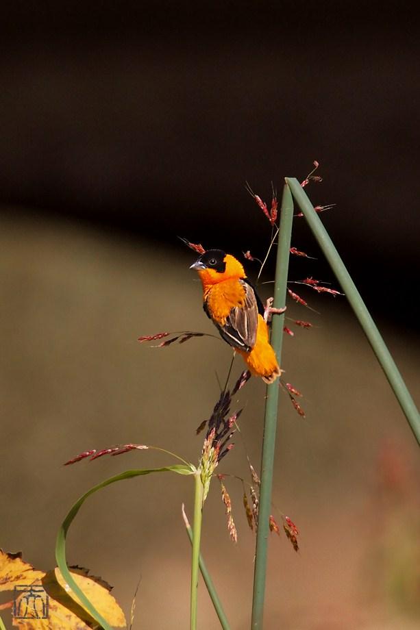 Orange Bishop 120411-6