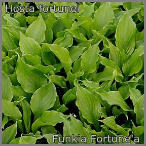 Hosta fortunei - Funkia Fortune'a