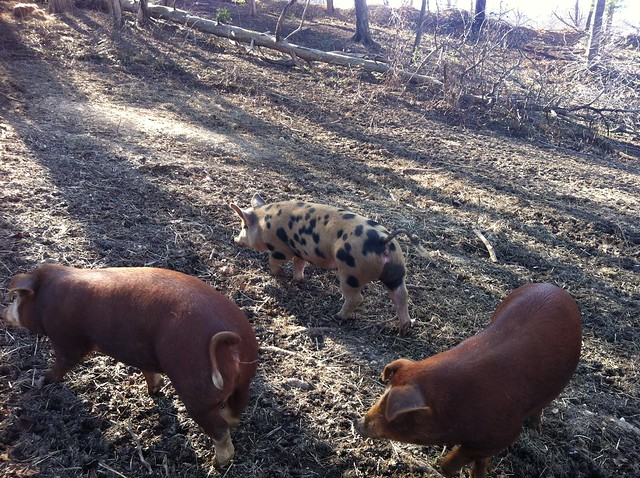 Tamworth pigs 3