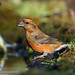 Common Crossbill, Loxia curvirostra. Male.