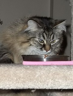 Stress and Anxiety in Cats Danya sneaking up on her food dish
