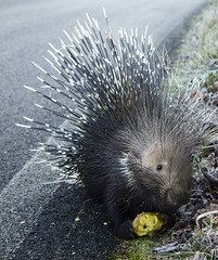 echidna, animal, porcupine, rodent, fauna, whiskers,