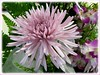 Closeup of mauve-coloured Chrysanthemum
