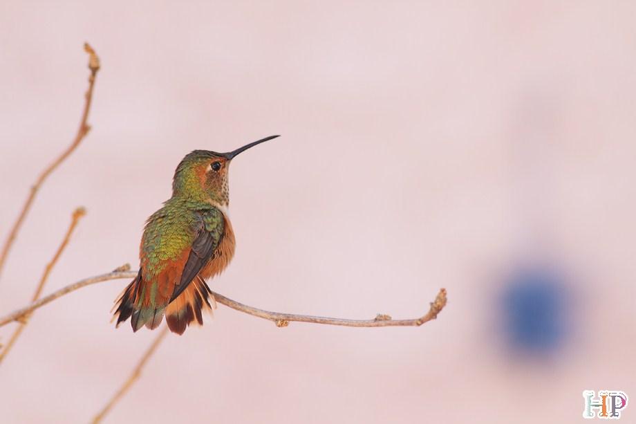Allen's Hummingbird 122312-11