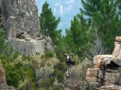 Le mouflon du monolithe rocheux