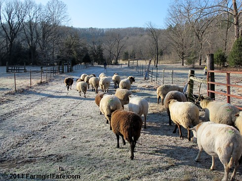 Frosty sheep heading out to enjoy the holiday - FarmgirlFare.com