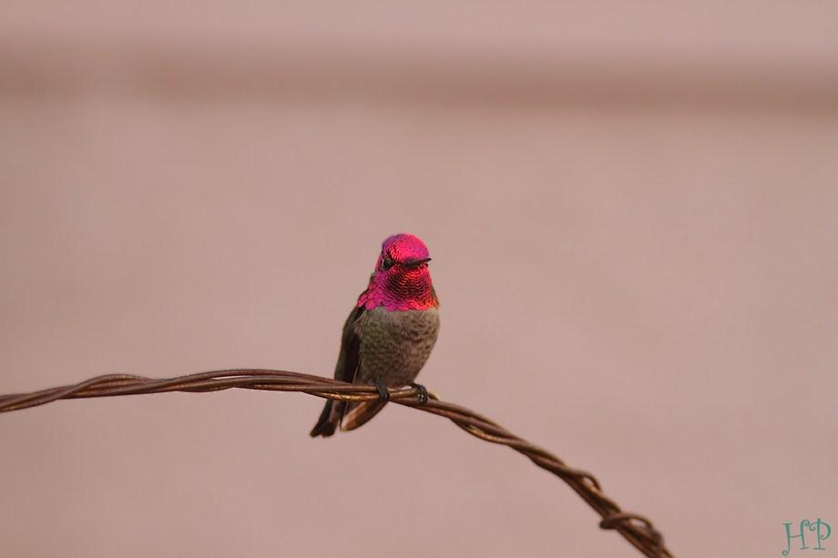 Anna's Hummingbird 122411-10