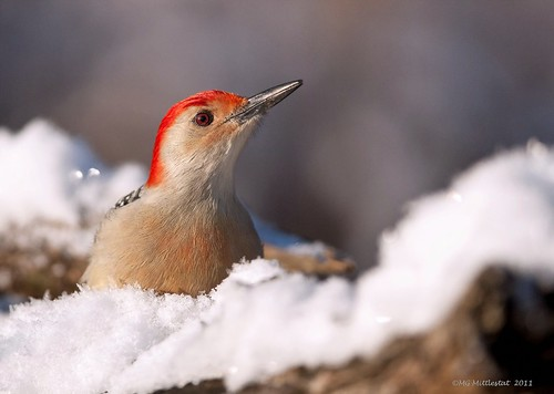 Red-bellied Woodpecker....male