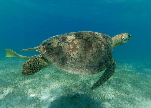 Green sea turtle, Ngouja, south Mayotte island