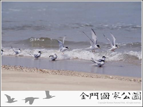 小燕鷗-02.jpg