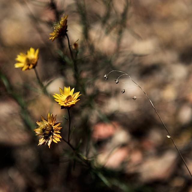Dry flowers - Australian lanscape