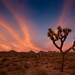 Joshua Tree at Sunset by Tristan C
