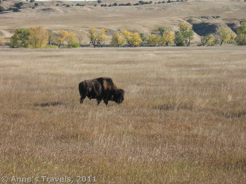 A bison grazes near Sage Creek in Badlands National Park, South Dakota